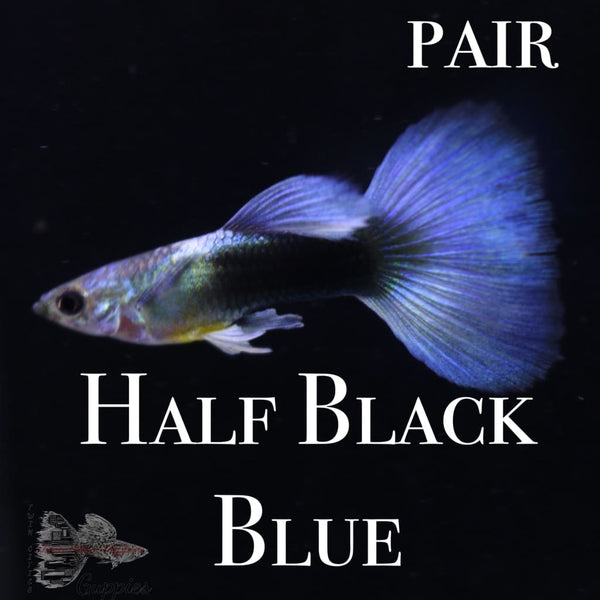 Half Black Blue PAIR
