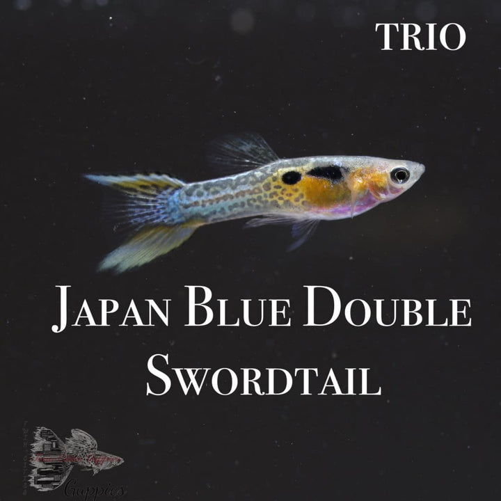 Japan Blue Double Swordtail TRIO Guppy