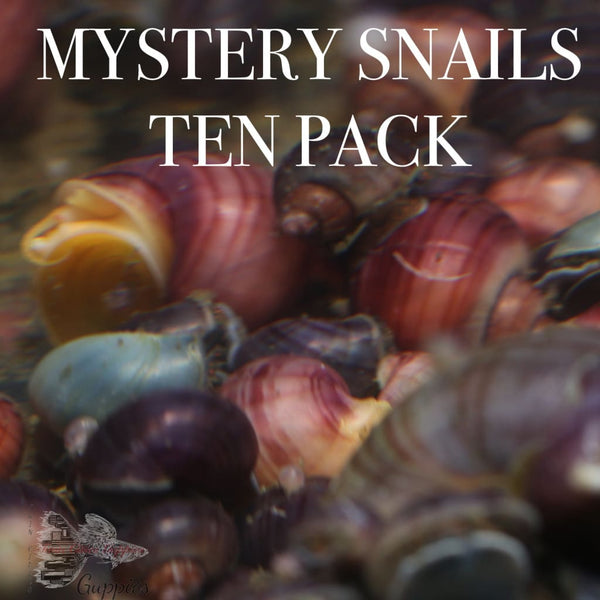 Mystery Snails Pack of 10