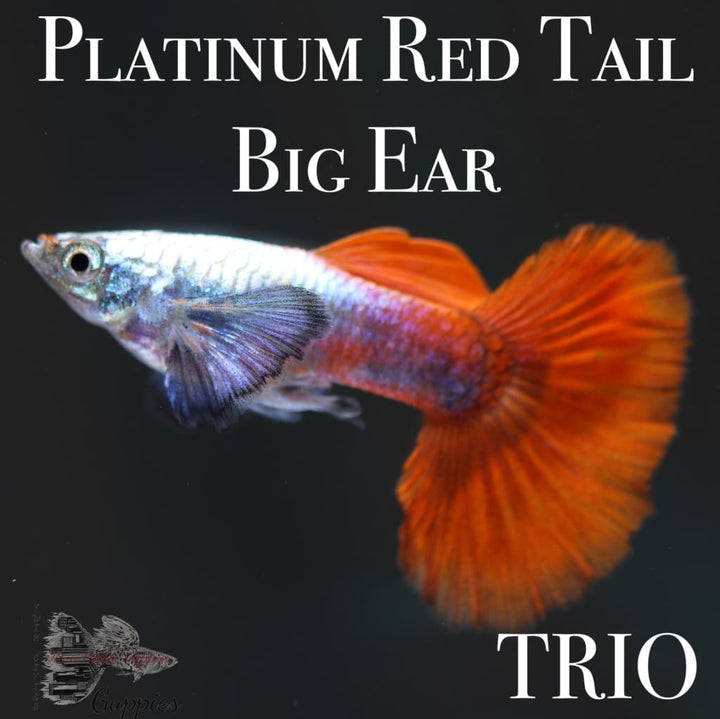Platinum Red Tail Big Ear TRIO Guppy