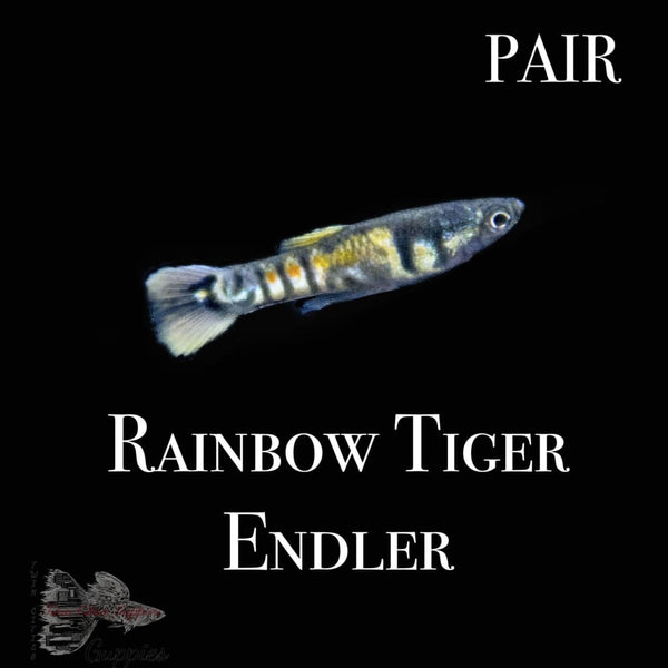 Rainbow Tiger Endler PAIR