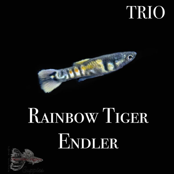 Rainbow Tiger Endler TRIO