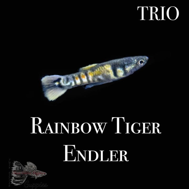 Rainbow Tiger Endler Trio Trio Endlers
