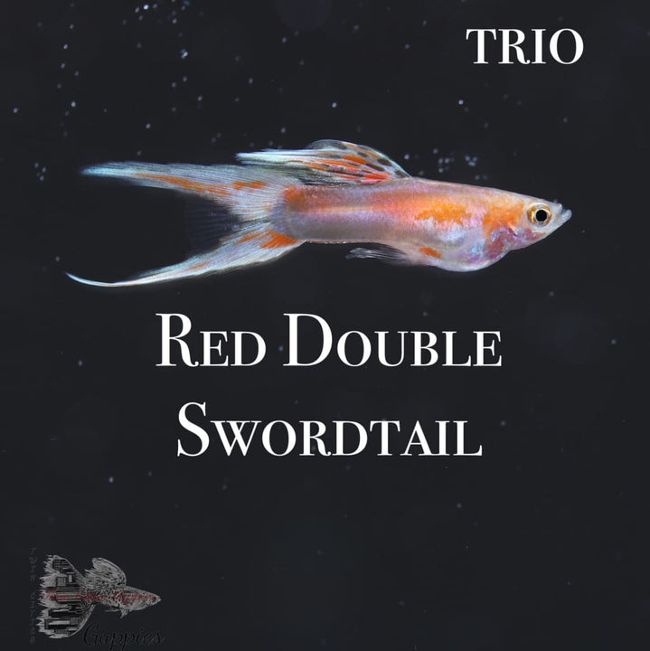 Red Double Swordtail Guppy