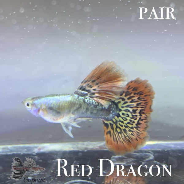 Red Dragon PAIR