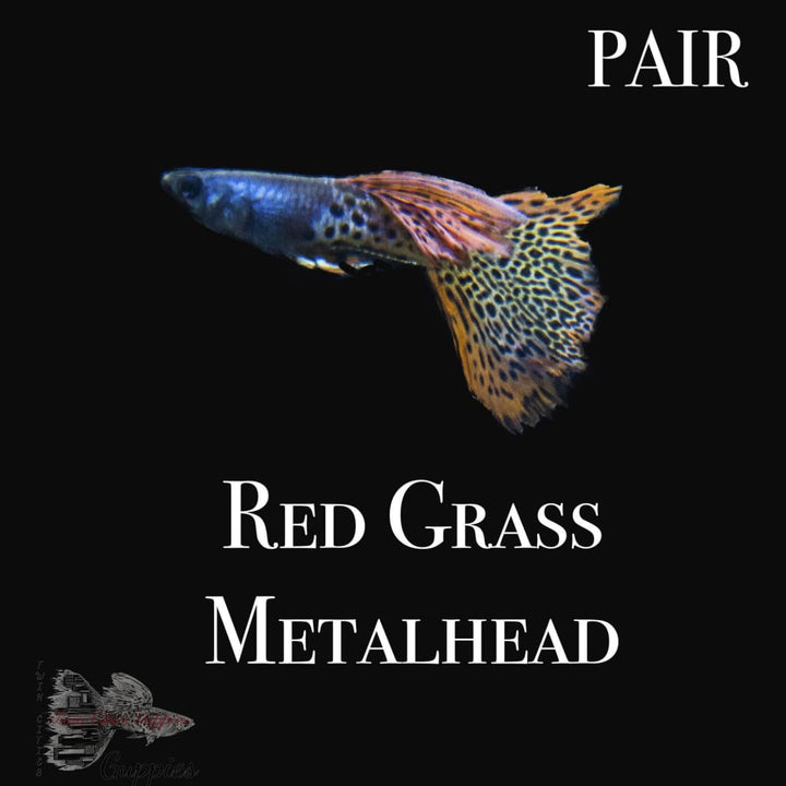 Red Grass Metalhead Pair Pair Guppy