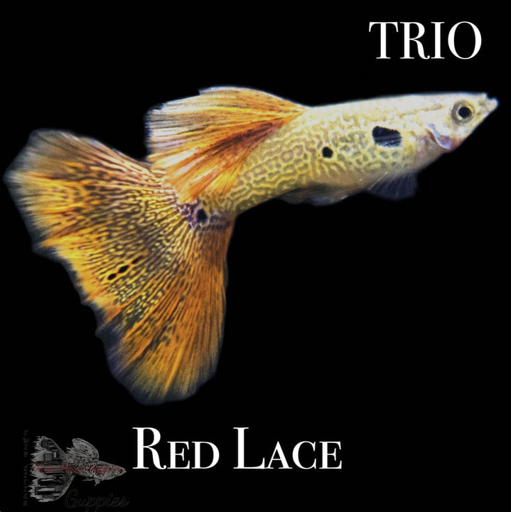 Red Lace Trio Trio Guppy