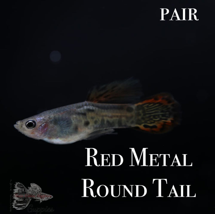 Red Metal Round Tail PAIR Guppy