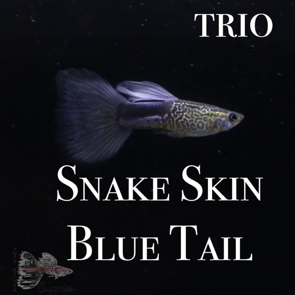 Snake Skin Blue Tail TRIO