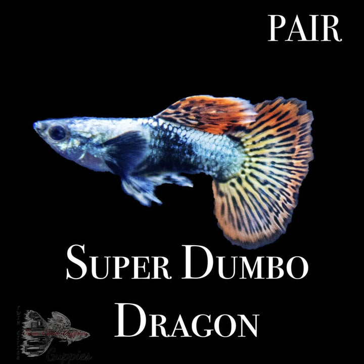 Super Dumbo Dragon PAIR