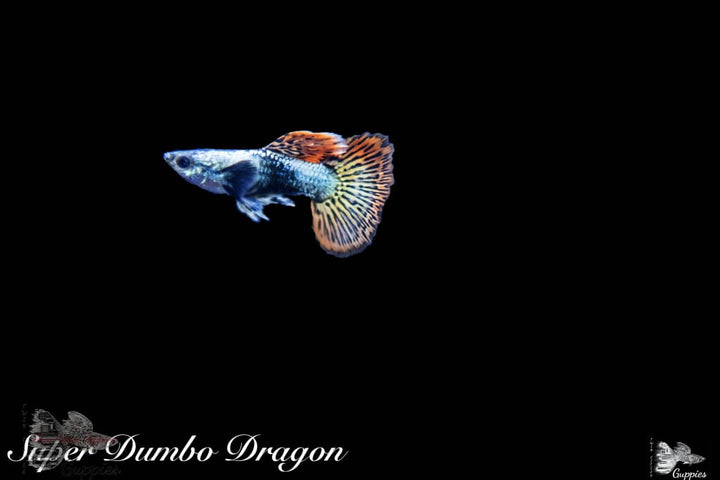 Super Dumbo Dragon Guppy