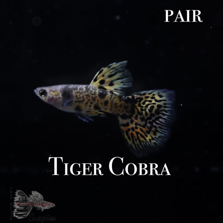 Tiger Cobra PAIR