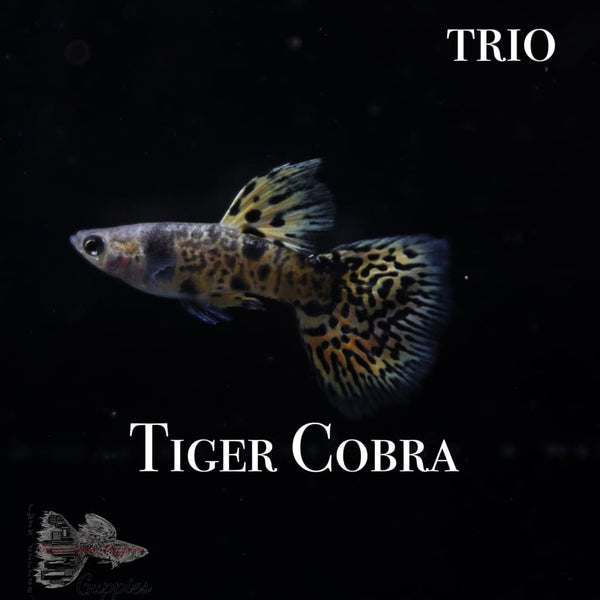 Tiger Cobra TRIO