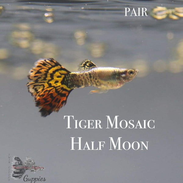 Tiger Mosaic Half Moon PAIR