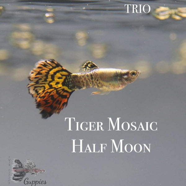 Tiger Mosaic Half Moon TRIO