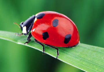 Ladybug Fun Facts!