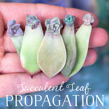 Getting Started with Succulent Leaf Propagation