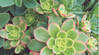 Featured Plant - Aeonium Kiwi
