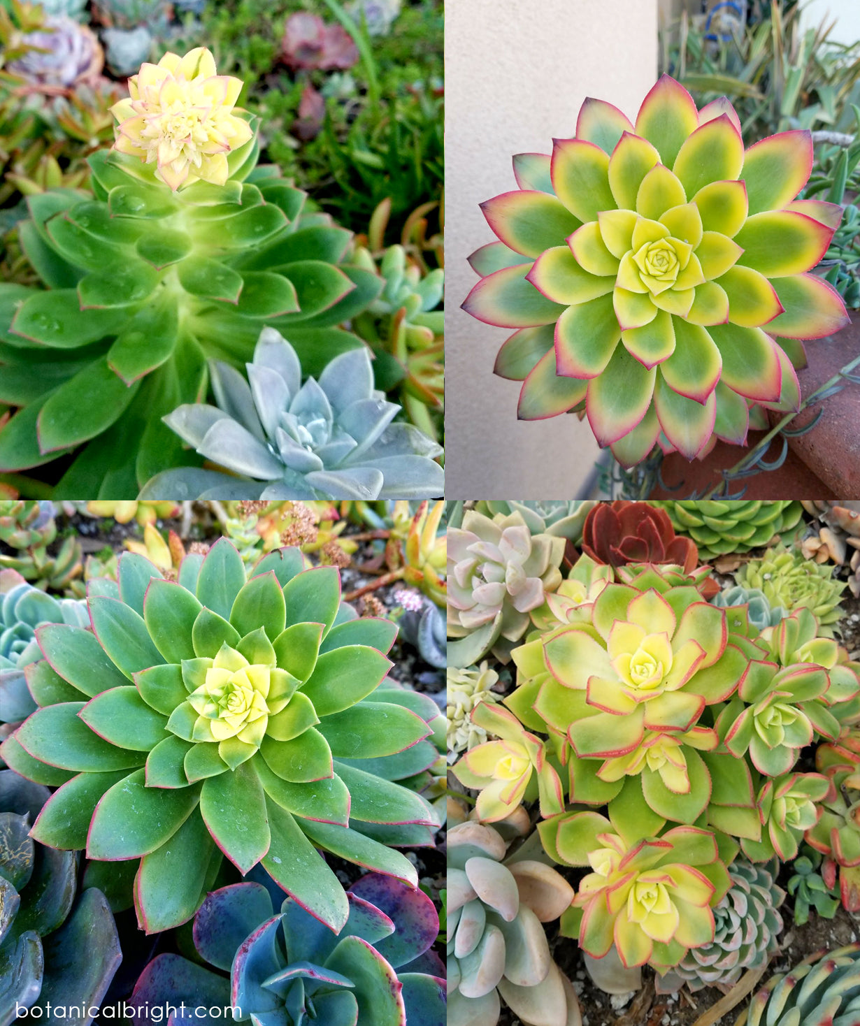 Plant of the Week - Aeonium Kiwi - Botanical Bright
