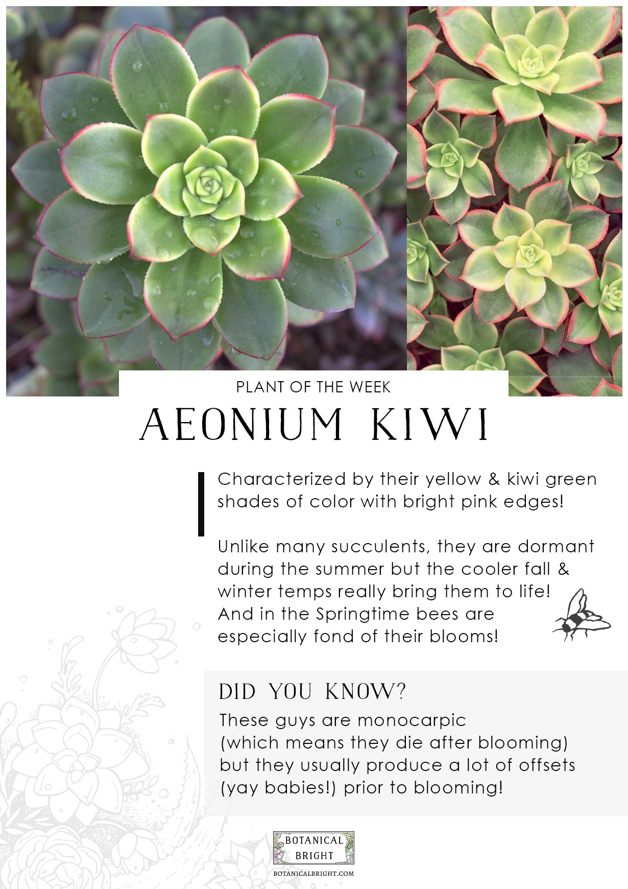 Plant of the Week - Aeonium Kiwi