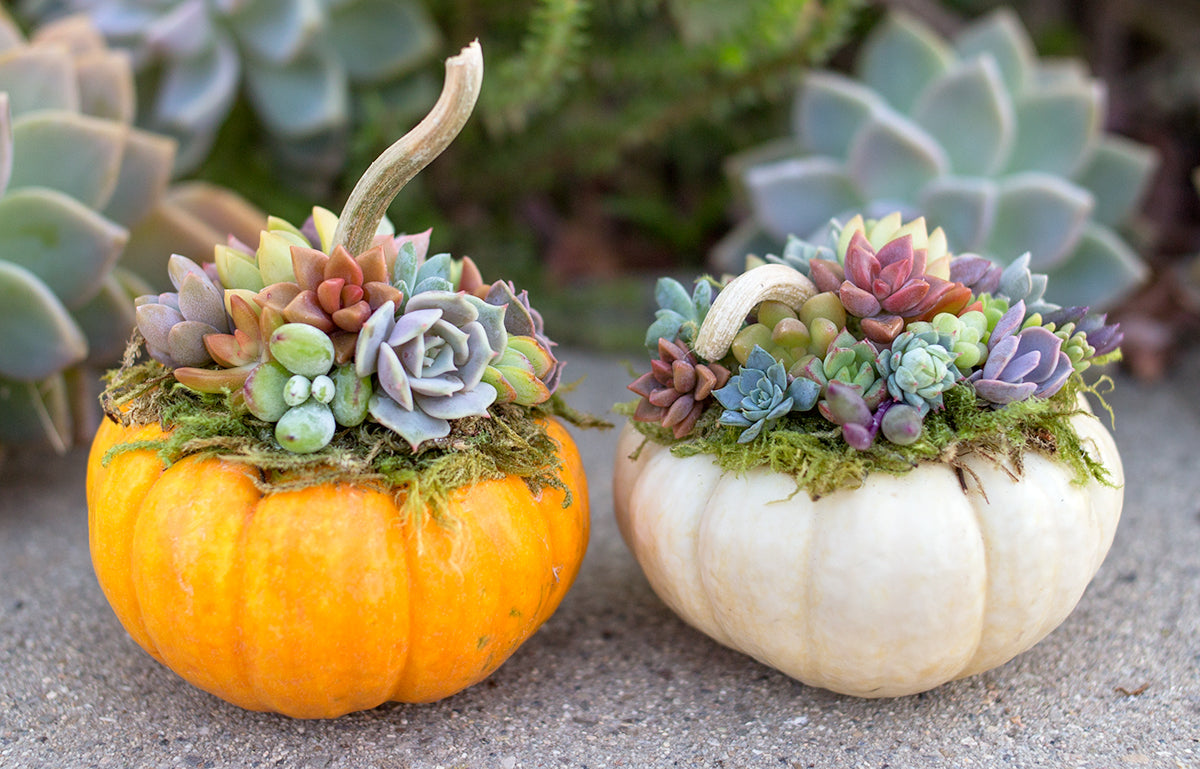 Diy Succulent Pumpkins Botanical Bright Adding A Lil Beauty To Your Everyday