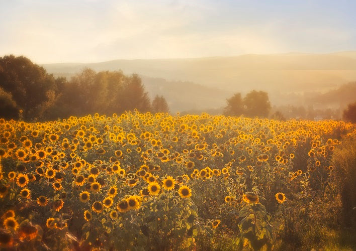Sunflower Backdrops Spring Scenery Background For Sale