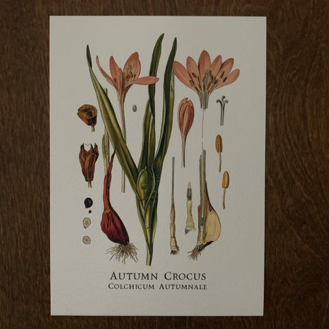 Autumn Crocus Print