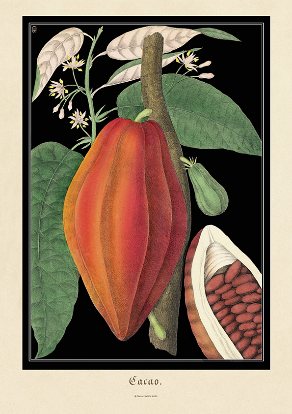Vintage botanical illustration of a ripe red cocoa bean with green leaves on black background by discoverprints