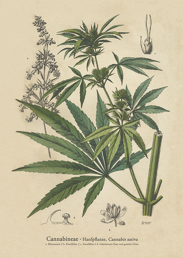 Cannabis Botanical Art Print