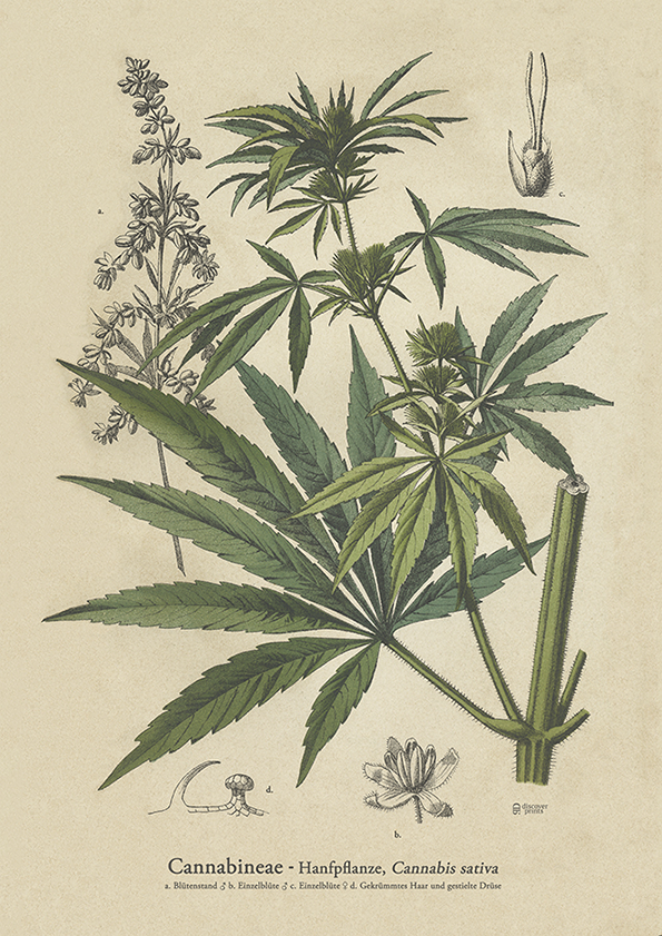 Cannabis Healing Art Print - Vintage Botanical Illustration c.1890 - Male Blossom - Female Blossom - Museum Quality