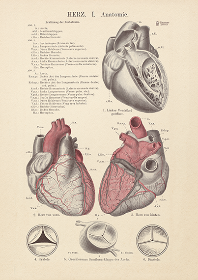 The Human Heart Archival Print - Vintage Style Heart Illustration - Heart Poster  - Love Science Poster  - Museum Quality