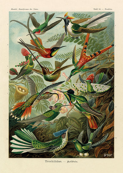 Vintage detailed print of 12 red and green hummingbirds by Ernst Haeckel among green leaves, plate 99 from Artforms of Nature