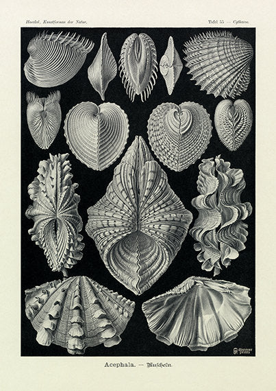 Vintage detailed print of mussels on black background by Ernst Haeckel, Acephala, lithograph plate 55 from Artforms of Nature