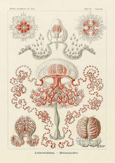 Vintage detailed print of red flower jellyfish by Ernst Haeckel, Anthoathecata, lithograph plate 46 from Artforms of Nature