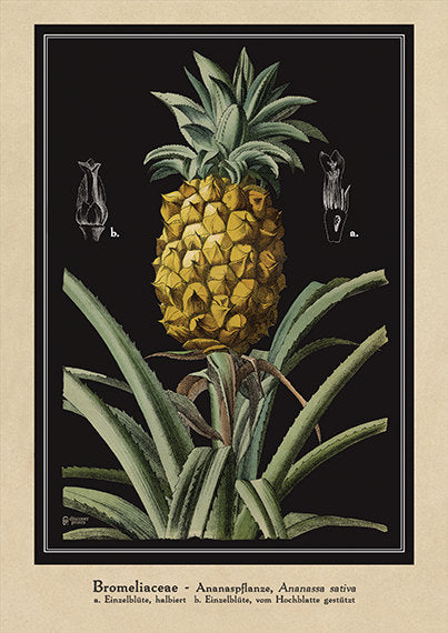 Pineapple Art Print - Botanical Pineapple Poster - Antique Style Kitchen Wall Art - Large botanical Pineapple poster - Museum Quality