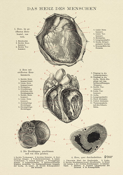 The Human Heart Archival Print - Heart Illustration - Anatomy Poster  - Love Science Poster  - Museum Quality