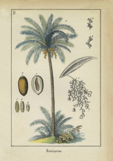 Date Palm Tree Art Print - Vintage Botanical Illustration  - Large Botanical Print - Museum Quality