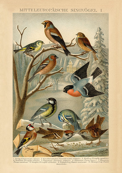 European Songbird  Grosbreak, Linnet, Siskin, Finch, Tit, Goldfinch, Sparrow - Vintage Bird Illustration - Vintage Bird Poster