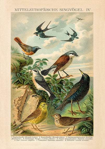 European Songbird  Print Swallow, Starling, Lark - Vintage Bird Illustration - Vintage Bird Poster