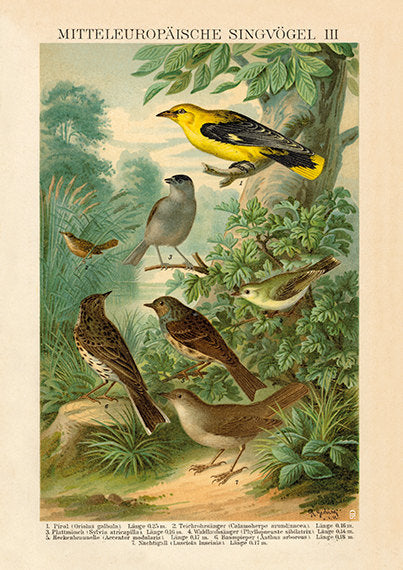 European Songbird  Print Oriole, Warbler, Blackcap, Dunnock, Nightingale - Vintage Bird Illustration - Vintage Bird Poster