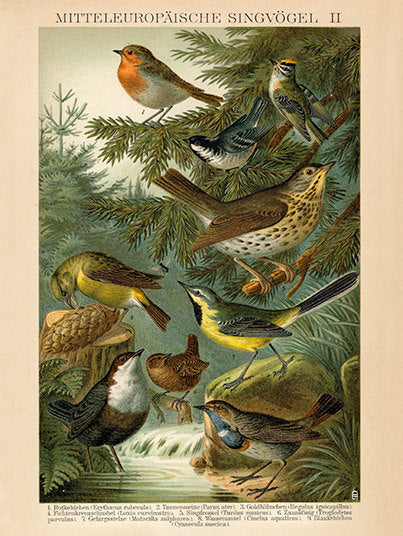 European Songbird  Print Robin, Crossbill, Thrush, Wren, Tit, Goldfinch, Sparrow - Vintage Bird Illustration - Vintage Bird Poster
