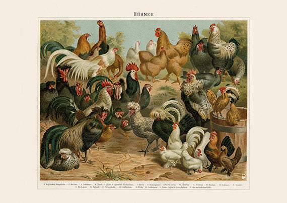 Assorted Chicken Breeds - Farming Animals Art Print