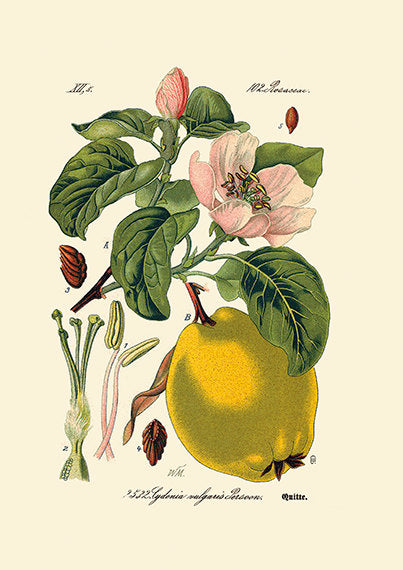 Quince Blossom Art Print - Botanical Quince Illustration - Antique Style Wall Art - Museum Quality