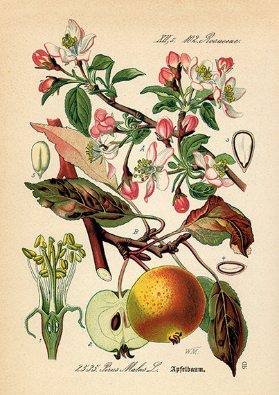 Apple Blossom Art Print - Botanical Illustration  - Antique Style Wall Art - Museum Quality