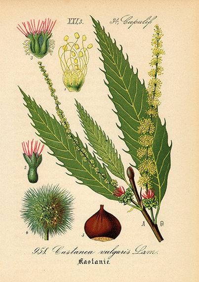 Chestnut Blossom Art Print - Botanical Illustration - Antique Style Wall Art - Museum Quality