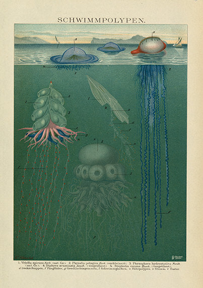 Intricate Exotic Jellyfish Art Print - Marine Animal Wall Art Beach House - Antique Style - Museum Quality
