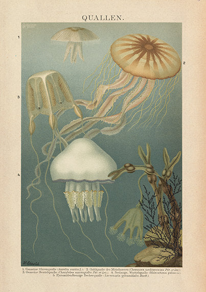 Colorful Seaweed And Jellyfish Art Print - Vintage Style Marine Sea Art - Museum Quality