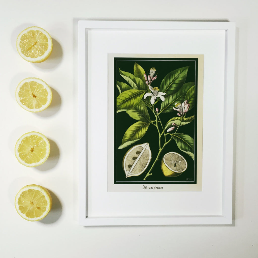 Bold Lemon Tree Art Print - Vintage Citrus Botanical Poster - Antique Style Kitchen Wall Art - Large botanical lemon poster - Museum Quality