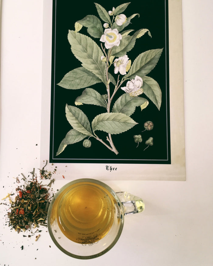 Tea Plant Art Print - Botanical Camellia Sinensis Poster - Antique Style Kitchen Wall Art - Large botanical Tea poster - Museum Quality
