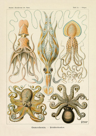 Vintage detailed print of 5 species of octopus by Ernst Haeckel, Gamochonia, lithograph plate 54 from Artforms of Nature